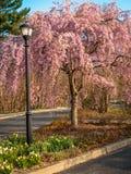 Cornouiller rose en parc Photos libres de droits