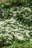 Cornouillers blancs sur le vert Photographie stock libre de droits