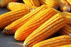 Corns в солнце. Стоковое Изображение RF
