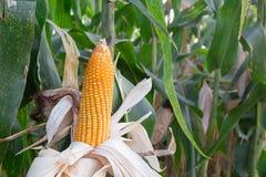 Corns крупного плана красивые зацветая в поле Стоковые Изображения