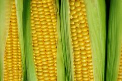 Corns. Close-up of yellowish raw corns Stock Photography
