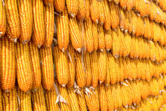 Corns for animal feeding Stock Photography