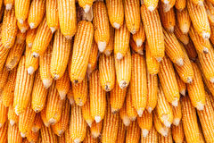 Corns for animal feeding. Use for background Royalty Free Stock Photo