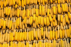 Corns in the autumn. Drying on the sun Stock Photos