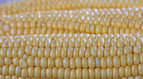 Corns closeup Royalty Free Stock Image