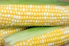 Corns in cob Royalty Free Stock Photography