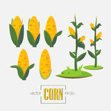Corns and corn tree -  Stock Images