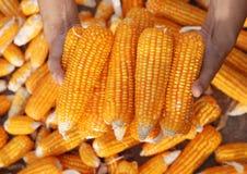 Corns in Farmers Hands Stock Image
