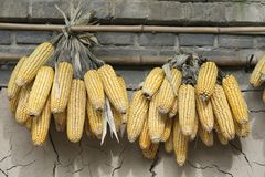 Corns Royalty Free Stock Image