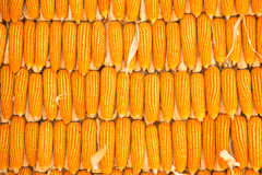 Corns. A Pile of raw corns Stock Photography