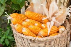 Corns in rattan basket Royalty Free Stock Photo