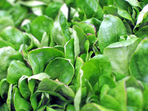 Cornsalad Leaves. Fresh green cornsalad leaves on market, green background Stock Images