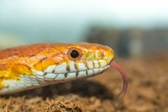 Cornsnake hunting for food with its toungue poking out Stock Photo