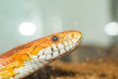 Cornsnake portrait close up view royalty free stock photos