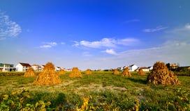 Cornstalk in the field. Autumn is the season of harvest. People use cornstalk as fuel Royalty Free Stock Photos