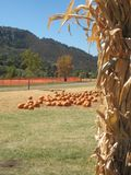 Cornstalk and Pumpkins. Orange pumpkins of assorted sizes  and cornstalks that can be used for autumn or fall decor and for halloween, agriculture and vegetables Stock Images