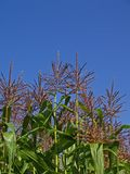 cornstalks天空 库存图片