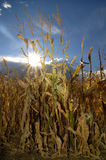 Cornstalks. In field with blue sky and sunstar in background Royalty Free Stock Photo
