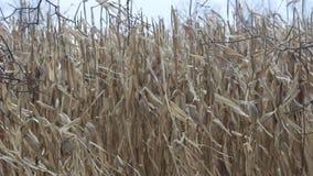Cornstalks em um campo que funde no vento filme