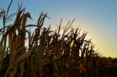 Cornstalks with sunset glow Stock Photo