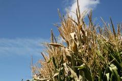 Cornstalks trés hauts atteignant à un ciel bleu d'automne Photos libres de droits
