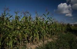Cornstalks in un campo in un chiaro giorno soleggiato su un fondo del bl Fotografie Stock Libere da Diritti