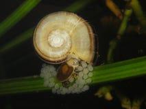 Cornuarietis giganti di Marisa della lumaca del ramshorn Fotografia Stock Libera da Diritti