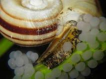 Cornuarietis giganti di Marisa della lumaca del ramshorn Fotografie Stock