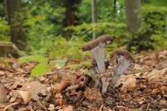 Cornucopioides del cuerno de la abundancia fungosos con los árboles forestales en el fondo Imagenes de archivo