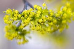 Cornus κλάδοι δέντρων MAS κατά τη διάρκεια της πρόωρης άνοιξης, Cornelian άνθισμα κερασιών Στοκ Εικόνες
