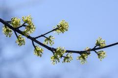 Cornus κλάδοι δέντρων MAS κατά τη διάρκεια της πρόωρης άνοιξης, Cornelian άνθισμα κερασιών Στοκ Φωτογραφία