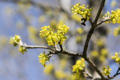 Cornus οπωρωφόρο δέντρο MAS στην άνθιση, κίτρινα μικρά λουλούδια ενάντια στο μπλε ουρανό Στοκ Φωτογραφία