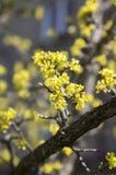 Cornus οπωρωφόρο δέντρο MAS στην άνθιση, κίτρινα μικρά λουλούδια ενάντια στο μπλε ουρανό Στοκ Εικόνες
