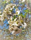 Cornus Φλώριδα, το άνθισμα Dogwood Στοκ Φωτογραφία