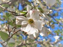 Cornus Φλώριδα, το άνθισμα Dogwood Στοκ Εικόνες