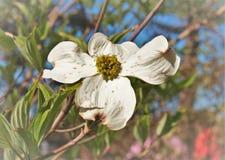 Cornus Φλώριδα, το άνθισμα Dogwood Στοκ φωτογραφία με δικαίωμα ελεύθερης χρήσης