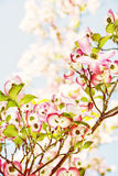 Cornus Φλώριδα - που ανθίζει dogwood, φίλτρο φωτογραφιών στοκ εικόνες
