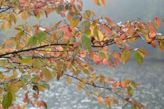 Cornus. Leaf color in autumn Royalty Free Stock Images
