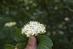 Cornus ( alba ; Dogwood) écorcé rouge ; fleur et feuilles images libres de droits