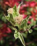Cornus alba 'Elegantissima' stock images