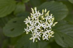 Free Cornus Alba &x28;Red Barked Dogwood&x29; Blossom And Leaves Stock Photography - 150681102