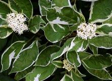 Cornus albus ?Elegantissima? Royalty-vrije Stock Fotografie