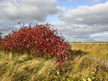 Cornus in autumn Stock Photo