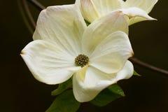 Cornus bloem Royalty-vrije Stock Foto's