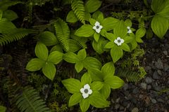 Cornus Canadensis Flower stock photography