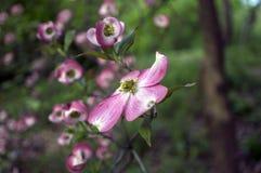 cornus dereniowy Florida kwiatonośny ruba Zdjęcie Stock