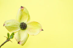 Cornus Royalty Free Stock Images