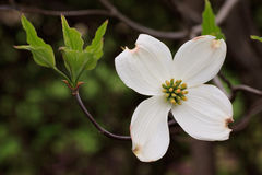 Cornus Florida Royalty Free Stock Photography
