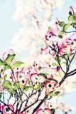 Cornus florida - corniso de florescência, filtro da foto Imagem de Stock Royalty Free