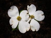 Cornus Florida, the Flowering Dogwood. Flowering dogwood is a small deciduous tree growing to 10 m 33 ft high that blooms in the spring royalty free stock image